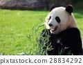 熊猫 竹叶草 动物 28834292