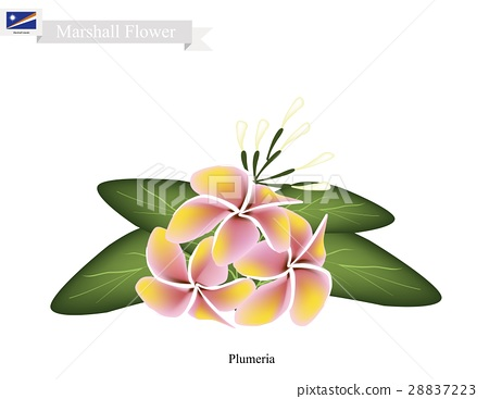Plumeria, The National Flower in Marshall Islands 28837223