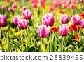 Pink tulips in garden, springtime, photo filter 28839455