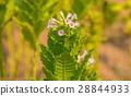 Flower tobacco plants 28844933