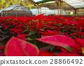 크리스마스 레드, Euphorbia pulcherrima, 전갈, 크리스마스 플라워, 쿠리스 마스의 꽃, Poinsettia 28866492
