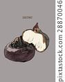 chestnuts vector. 28870046