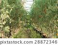Tomato on Trees 28872346