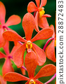 red orchid 28872483
