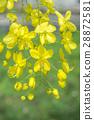 Cassia Flower 28872581
