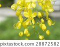 Cassia Flower 28872582