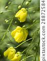 Cassia Flower 28872584