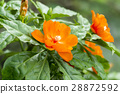 Orange flower of Wax rose on tree. 28872592