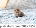 可爱 灰色 小猫 28873854