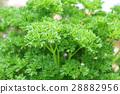 ผักชีฝรั่งมอสโคว์ (เสรี) 28882956
