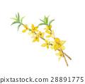 forsythia fruit botanic 28891775