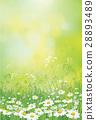 chamomile, flower, meadow 28893489