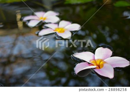 PInk Plumeria flowers floating on water 28898258