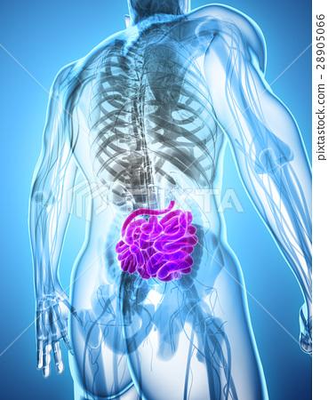 3D illustration of Small Intestine. 28905066
