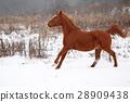 Nice chestnut horse running in winter 28909438