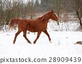 Nice chestnut horse running in winter 28909439