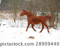 Nice chestnut horse running in winter 28909440