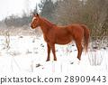 Beautiful chestnut horse in winter 28909443