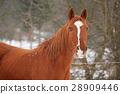 Beautiful chestnut horse in winter 28909446