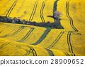 Wavy yellow rapeseed fields in South Moravian 28909652