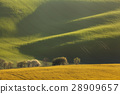 Trees with wavy green fields.  Rolling hills 28909657