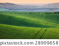 Wavy green fields. Striped rolling hills at sunset 28909658