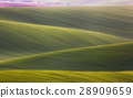 Wavy green fields. Striped rolling hills at sunset 28909659