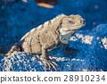 beach iguana rock 28910234
