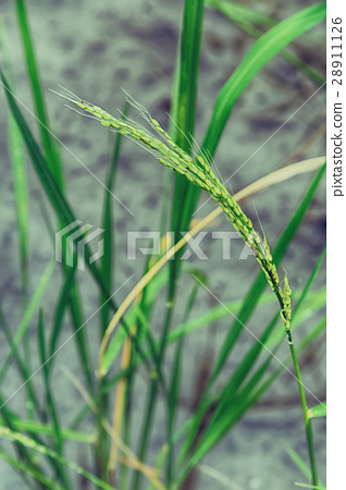 close up of a rice cereal cultivation    field 28911126
