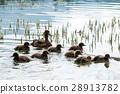 duck 28913782