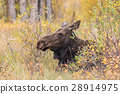 Cow Moose in fall 28914975