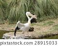 นกกระทุง,นก,สัตว์ 28915033