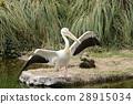นกกระทุง,นก,สัตว์ 28915034