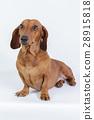 Funny dachshund 28915818