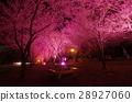 Wuling Farm Night Sakura 28927060