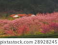 Wuling Farm Cherry Blossoms 28928245