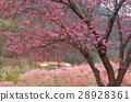 Wuling Farm Cherry Blossoms 28928361