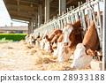 Cows eating hay in cowshed 28933188