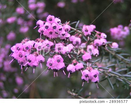 귀여운 작은 분홍색 꽃 에리카 28936577
