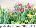 ดอกไม้,ทิวลิป,แปลงดอกไม้ 28937918