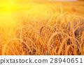 Gold wheat field 28940651