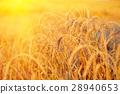Gold wheat field 28940653