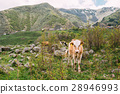 Calf Cow Eating Grass In Spring Pasture. Cow 28946993