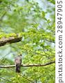 나뭇 가지에 그치는 산비둘기 28947905