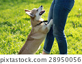 corgi cute little dog playing outdoors 28950056
