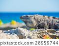 beach iguana tropical 28959744