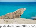 beach summer iguana 28959745