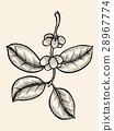 coffee, design, leaves 28967774