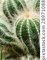 Green small cactus 28971088