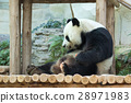 Image of a panda on nature background.  28971983
